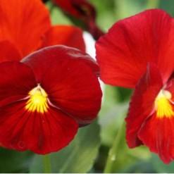 Comprar Sementes de Amor Perfeito Escarlate Dinamite: 15 Sementes