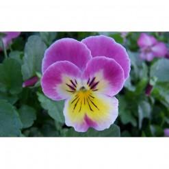 Comprar Sementes de Amor Perfeito Lilás Radiance: 15 Sementes