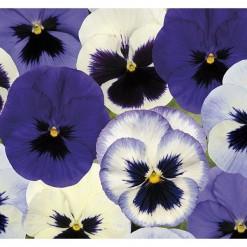 Sementes de Amor Perfeito Mix Azul e Branco