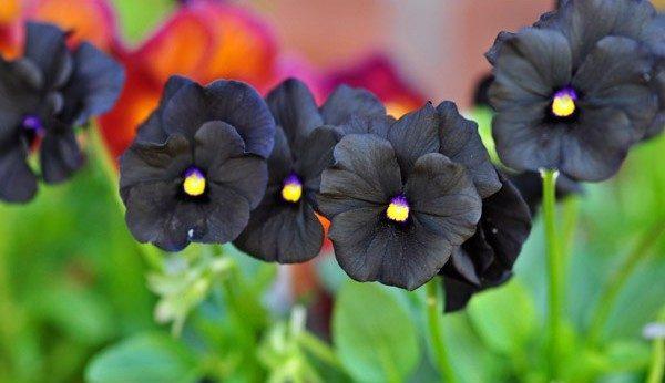 Comprar Sementes de Amor Perfeito Preto (Black Pansy): 15 Sementes