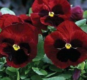 Comprar Sementes de Amor Perfeito Púrpura Gigante Suíço: 15 Sementes