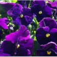 Comprar Sementes de Amor Perfeito Roxo Crow: 15 Sementes