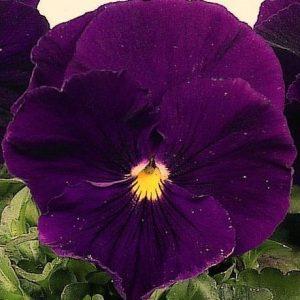 Comprar Sementes de Amor Perfeito Roxo Dinamite: 15 Sementes