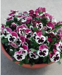 Comprar Sementes de Amor Perfeito Roxo e Branco Dinamite: 15 Sementes