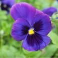 Comprar Sementes de Amor Perfeito Roxo Gigante Suíço: 15 Sementes