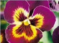 Comprar Sementes de Amor Perfeito Roxo Ultimate Baron: 15 Sementes
