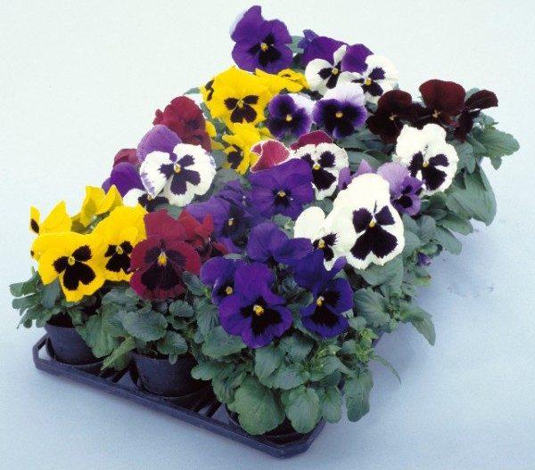 Comprar Sementes de Amor Perfeito Sortido Dinamite: 15 Sementes