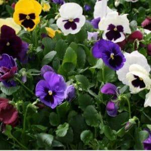 Comprar Sementes de Amor Perfeito Sortido Gigante Suíço: 15 Sementes