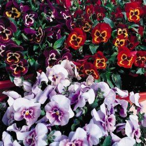 Comprar Sementes de Amor Perfeito Sortido Ultimate Baron: 15 Sementes