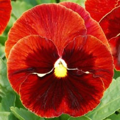 Comprar Sementes de Amor Perfeito Vermelho Dinamite: 15 Sementes