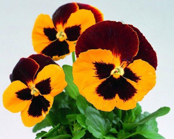 Comprar Sementes de Amor Perfeito Vermelho e Amarelo Dinamite: 15 Sementes