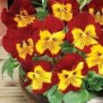 Comprar Sementes de Amor Perfeito Vermelho e Amarelo Ultimate: 15 Sementes