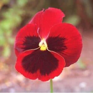 Comprar Sementes de Amor Perfeito Vermelho Gigante Suíço: 15 Sementes