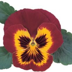Comprar Sementes de Amor Perfeito Vermelho Ultimate Baron: 15 Sementes
