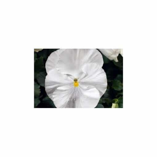 Comprar Sementes de Amor Perfeito White Crow: 15 Sementes