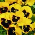 Comprar Sementes de Amor Perfeito Yellow Dinamite: 15 Sementes