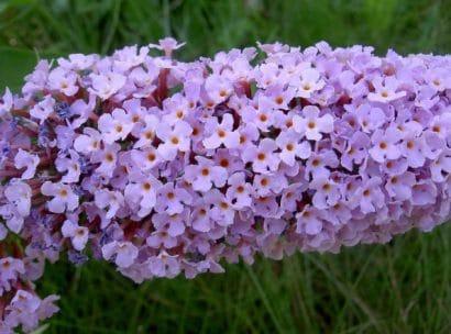 Comprar Sementes de Arbusto Borboleta: 20 Sementes