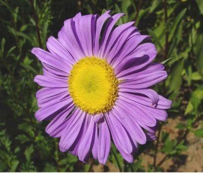Comprar Sementes de Aster Gigante Singela Sortida: 15 Sementes