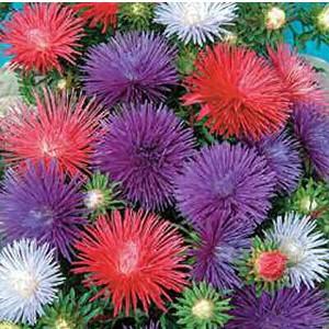 Comprar Sementes de Aster Pluma de Avestruz Sortida: 15 Sementes