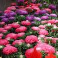 Comprar Sementes de Aster Rainha do Mercado Sortida: 15 Sementes
