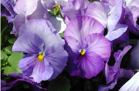 Comprar Sementesde Amor Perfeito Lavanda Dinamite: 15 Sementes
