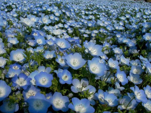 Comprar Sementes de Baby Blue Eyes (Nemophila): 20 Sementes