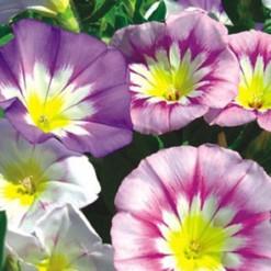 Comprar Sementes de Bela Manhã Sortida: 15 Sementes