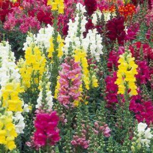 Comprar Sementes de Boca de Leão Sortida (Antirrhinum): 100 Sementes