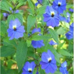 Comprar Sementes de Brovália Azul: 20 Sementes