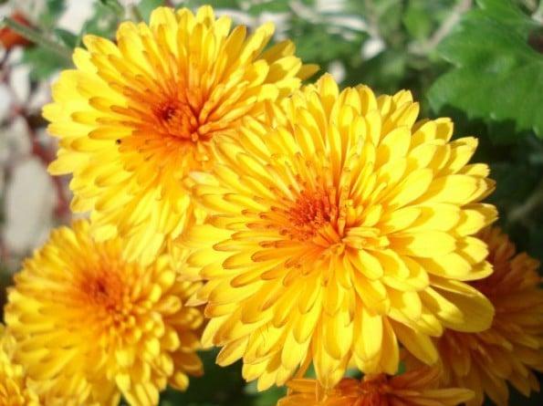 Comprar Sementes de Calêndula Sortida Dobrada: 15 Sementes