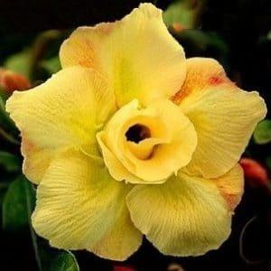Comprar Sementes de Rosa do Deserto Sortida (Adenium): 5 Sementes