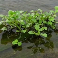 Agrião da Água: 50 Sementes