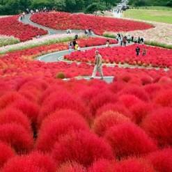 Arbusto de Fogo: 20 Sementes