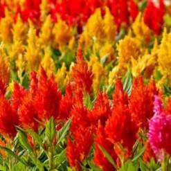 Celósia Plumosa Sortida: 15 Sementes