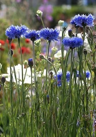 Centáurea Azul: 20 Sementes