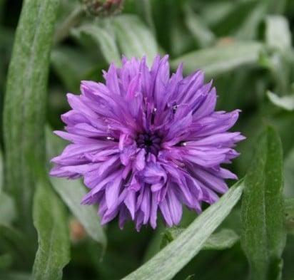 Centáurea Sortida: 20 Sementes