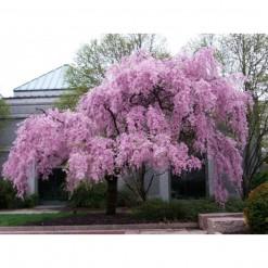 Cerejeira Japonesa: 5 Sementes