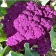 Couve-Flor Roxa: 50 Sementes