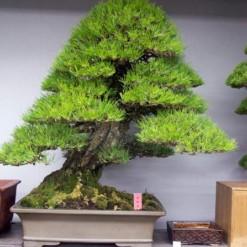 Pinheiro Negro Japonês: 5 Sementes