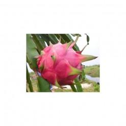 Pitaya (Dragon Fruit): 15 Sementes