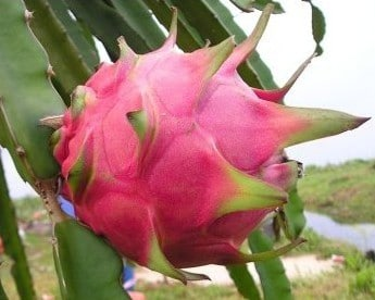 Pitaya (Dragon Fruit): 15 Sementes