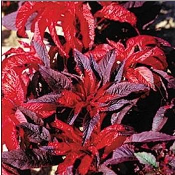 Planta Bico-de-Papagaio: 20 Sementes