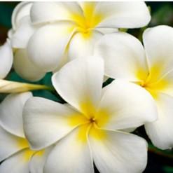 Plumeria Branca: 5 Sementes