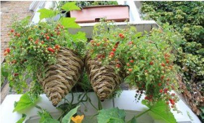 Tomate Cereja Samambaia: 20 Sementes