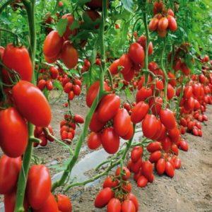 Tomate San Marzano: 20 Sementes