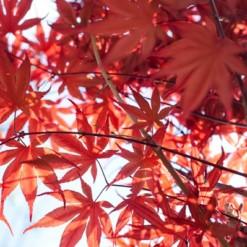 Bordô Japonês: 10 Sementes