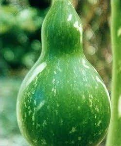 Cabaça (Porongo): 10 Sementes