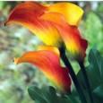Copo de Leite Coral (Flame): 1 Bulbo