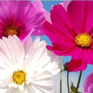 Cosmea Sortida: 15 Sementes