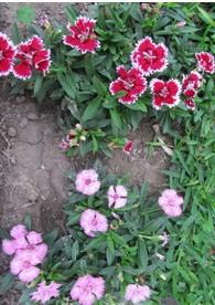 Cravina Alta Dobrada Sortida: 15 Sementes
